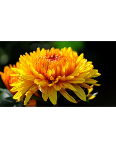 Golden Chrysanthemum ( Long Stem )