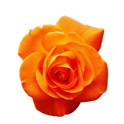 Orange Rose ( Long Stem )