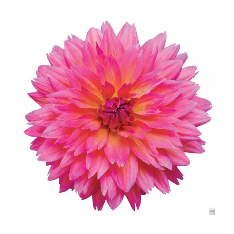 Pink Chrysanthemum ( Long Stem )