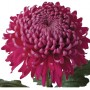 Purple Chrysanthemum ( Long Stem )