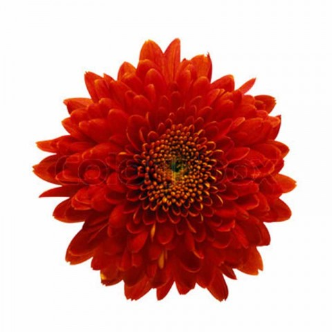 Red Chrysanthemum ( Long Stem )