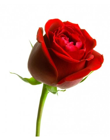 Red Rose ( Long Stem )