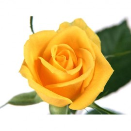 Yellow Rose ( Long Stem )