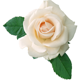 White Rose ( Long Stem )