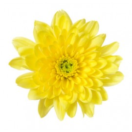 Yellow Chrysanthemum ( Long Stem )
